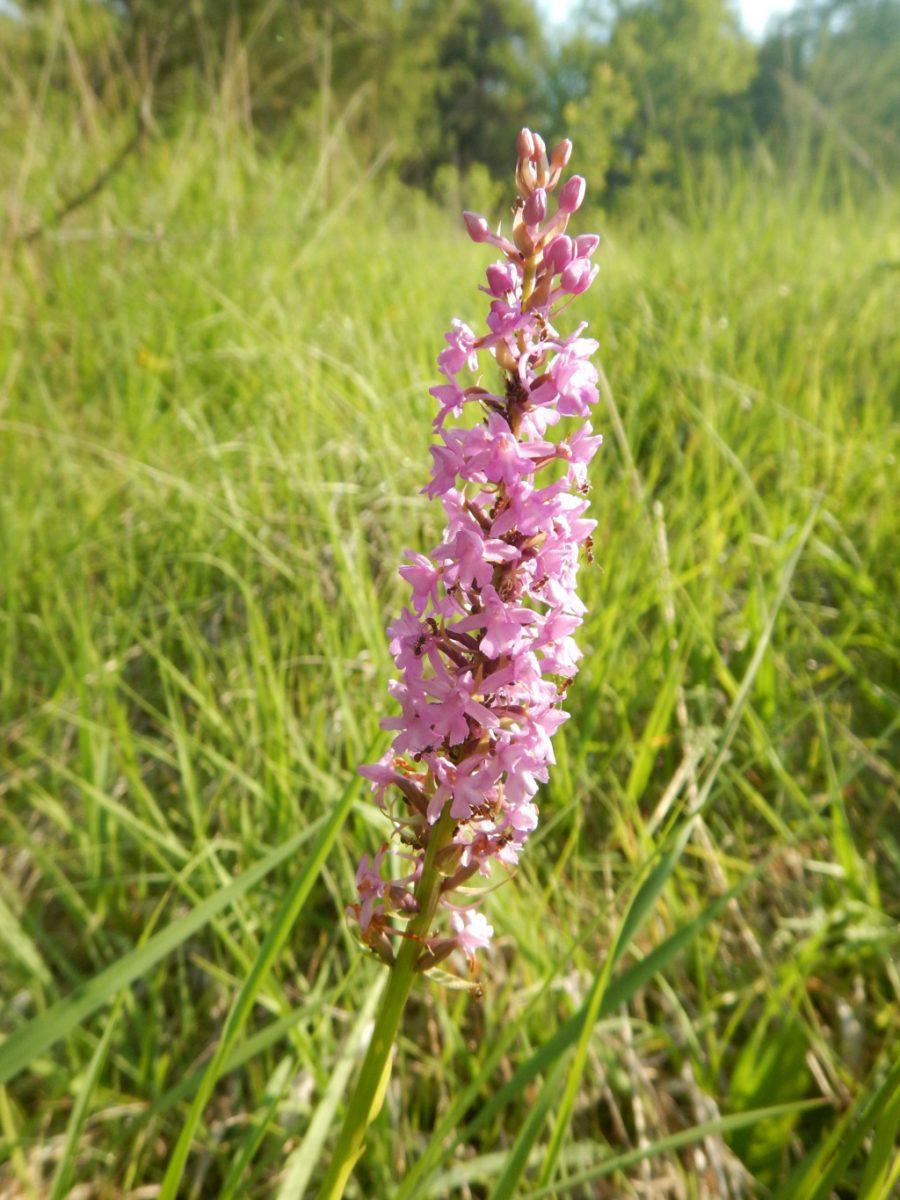 17-06-13 gymnadenia conopsea (2)